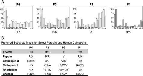 Tetrapeptide substrate specificity profiling of tbcatB determined using complete diverse PS-SCL and comparison with related enzymes. A, the library contained P1, P2, P3, and P4 libraries in which the P position is fixed with one of 20 amino acids (norleucine is used in place of isoleucine) and the other three positions are occupied by the 20 amino acids in an equimolar mixture. All of the substrates contained an ACC fluorogenic leaving group. Protease specificity was determined by hydrolysis of substrates, as measured by ACC fluorescence intensity. Assays were performed in triplicate and error bars denote the mean ± S.D. y axis represents the rate of ACC production expressed as a percentage of the maximum rate observed in each experiment. x axis indicates the amino acid held constant at position, designated by the one-letter code (with n representing norleucine), and amino acids are grouped along the axis to reflect the chemical properties of their side chains (acidic, basic, polar, aromatic, and aliphatic amino acids). B, a comparison of preferred substrate motifs for recombinant tbcatB, papain (14), human cathepsin B (14), human cathepsin L (14), rhodesain (14), and cruzain (14) determined using the complete diverse library.