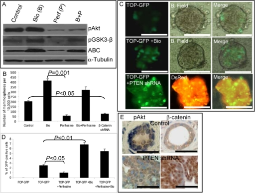 PTEN regulates β-catenin activity in mammary stem/progenitor cells.(A) Effects of the GSK3-β inhibitor (Bio) and the Akt inhibitor (perifosine) on activation of Akt/GSK3-β/β-catenin signaling as assessed by Western blotting using phospho-specific antibodies. Perifosine inhibits pAkt, pGSK3-β, and activated β-catenin expression. The GSK3-β inhibitor Bio restores β-catenin activation even in the presence of perifosine. (B) After 5 d treatment of primary mammospheres with either 10 µM perifosine or 0.5 µM Bio alone or in combination, cells were dissociated and passaged to form secondary mammospheres. Bio treatment increased the number of secondary mammospheres more than 2-fold, whereas perifosine treatment or down-regulation of β-catenin via infection with an shRNA lentivirus decreased the number of secondary mammospheres by more than 50%. Bio reversed the inhibitory effect of perifosine. (C) To monitor β-catenin activity, TOP-GFP reporter lentivirus-infected mammospheres were treated with Bio or co-transfected with PTEN shRNA. Control mammospheres cultured for 7 d contained one–four GFP-positive cells. The proportion of GFP-positive cells was increased more than 2-fold by Bio treatment. Knockdown of PTEN also resulted in more than a 2-fold increase in the proportion of GFP-positive cells. (D) TOP-GFP infected mammospheres were treated for 5 d with indicated compounds either alone or in combination and analyzed by flow cytometry. Perifosine treatment decreased the proportion of GFP-positive cells by more than 50%, whereas Bio treatment increased them more than 2-fold. The inhibition produced by perifosine was abrogated when the mammospheres were also treated with Bio. (E) Outgrowths generated in NOD/SCID mice from PTEN shRNA lentivirus-infected cells displayed increased phospho-Akt expression as well as increased nuclear β-catenin localization as compared to control outgrowths. Scale bars = 100 µm. Data represent the mean±SD of three independent experiments.