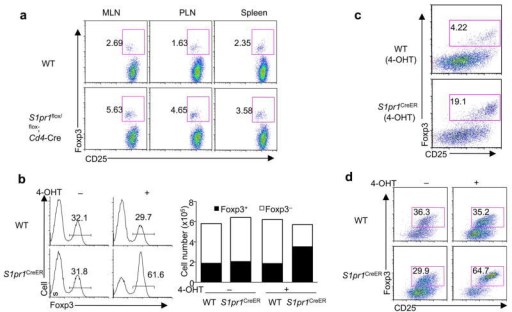S1P1 is required to restrain the generation and maintenance of Foxp3+ iTreg cells(a) Analysis of Foxp3 expression 4 weeks after Foxp3− CD4SP thymocytes from wild-type and S1pr1flox/flox;Cd4-Cre mice were transferred into Rag1−/− mice. PLN, peripheral lymph nodes. (b) Analysis of Foxp3 expression after naïve T cells from wild-type and S1pr1CreER mice were treated with 4-OHT and then activated in the presence of TGF-β for iTreg differentiation. The right panels show proportions and absolute numbers of Foxp3+ and Foxp3− T cells. (c) Analysis of Foxp3 expression after naïve T cells from wild-type and S1pr1CreER mice were treated with 4- OHT and then activated by CD103+ DCs and anti-CD3, without any exogenous cytokines. (d) Analysis of Foxp3 expression in mature iTreg cells upon acute deletion of S1P1. Naïve T cells from wild-type and S1pr1CreER mice were differentiated into iTreg cells. Foxp3+ (GFP+) cells were sorted, treated with 4-OHT and cultured with IL-2. Foxp3 expression was analyzed 4–5 days later. Data represent three independent experiments.