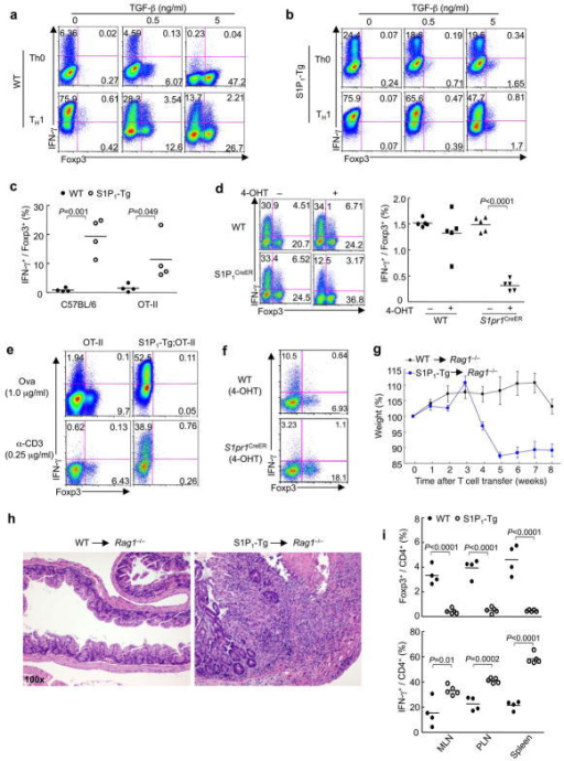 S1P1 regulates reciprocal TH1 and iTreg differentiation and immune homeostasis in vivo(a,b) Analysis of IFN-γ and Foxp3 expression in wild-type (a) and S1P1-Tg (b) cells differentiated under the specified conditions. (c,d) Ratios of IFN-γ+ and Foxp3+ populations in wild-type and S1P1-Tg cells (c) and 4-OHT treated wild-type and S1pr1CreER cells (d) that were differentiated under TH1 conditions in the presence of TGF-β. (e,f) Analysis of IFN-γ+ and Foxp3+ populations in wild-type and S1P1-Tg cells (e) and 4-OHT treated wild-type and S1pr1CreER cells (f) that were activated by CD103+ DCs and Ova or anti-CD3, without any exogenous cytokines. (g-i) Analysis of T cell-dependent colitis and in vivo differentiation. Wild-type or S1P1-Tg naive T cells were transferred in combination with wild-type Treg cells (CD45.1+) into Rag1−/− mice. (g) Changes in body weight. (h) Representative intestine histology. (i) Proportions of Foxp3+ and IFN-γ+ CD4 T cells derived from naïve T cell donors. Data represent three independent experiments.
