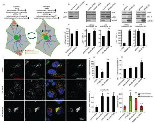 Lysosomal Positioning Modulates Autophagy A Diagram Open I