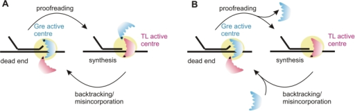 Two models of switching of the active centres, the 'TL active centre' (red) and 'Gre active centre' (blue), in the RNA polymerase catalytic site (yellow circle). Gre does not interfere with the TL during productive elongation. However, in response to misincorporation or occasional backtracking Gre substitutes for the TL in the active site where it activates the hydrolytic activity to efficiently resolve backtracked complexes. After resolution of backtracked complex is accomplished, Gre is replaced back by the TL allowing continuation of elongation. Switching may take place without (A) or with (B) dissociation of Gre from the elongation complex.
