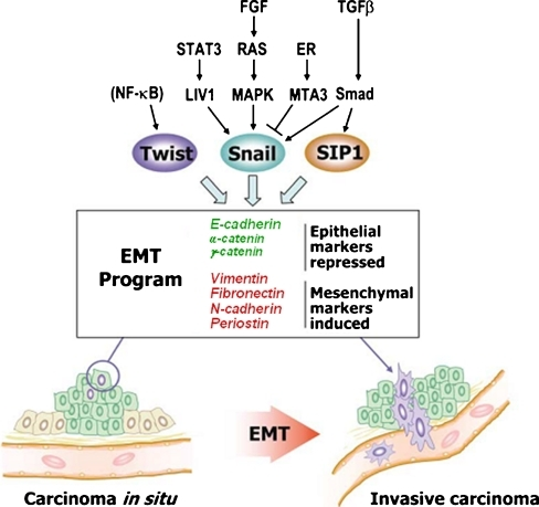 Drivers and mediators of EMT. Early stage tumor cells ...
