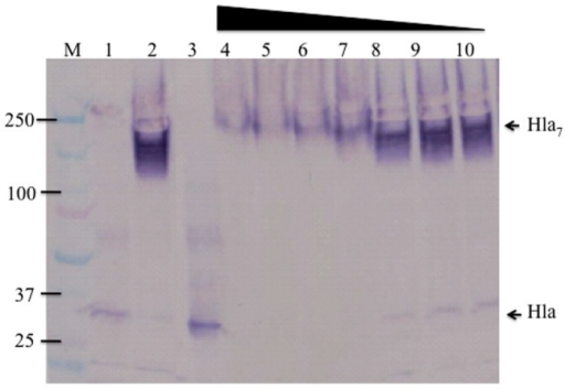 Inhibition of toxin oligomerization with AT62-IgG.Rabbit RBCs were incubated with Hla alone or Hla pre-incubated with pAb. The mixtures were incubated with 10% rabbit RBC for 45 min at 37°C, cells were pelleted, washed, lysed, and loaded in SDS-PAGE without heating. Lane 1: boiled; lane 2 at 4°C, lane 3: Hla control without RBC; lanes 4–10: 15 µg/ml of Hla neutralized with decreasing concentration of anti AT-62aa pAb (two fold diluted from 400 to 6.25 ug/ml). Western blot was developed with sheep anti-Hla polyclonal antibody.