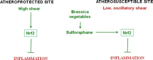 Model—Consumption of Brassica vegetables may prevent vascular inflammation at atherosusceptible sites. Regions of arteries with relatively uniform geometry are protected from inflammation and atherosclerosis by high shear stress which activates Nrf2. By contrast, branches and bends that are exposed to low, oscillatory shear stress are susceptible to lesion formation. However, dietary consumption of Brassica vegetables may prevent branches and bends from inflammation by activating Nrf2 in endothelial cells