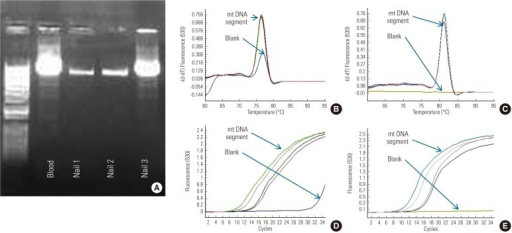 Nested target amplification of mitochondrial DNA (mtDNA). (A) Over 9.2 kb was successfully amplified in three nail DNA samples and the blood(+) control. Nested polymerase chain reaction for mtDNA segments for 3121 to 3319 (B,D) and 8825 to 9090 (C,E) were also successfully quantified in three nail DNA samples and the blood sample.
