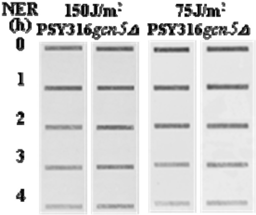 Cells with or without Gcn5 were irradiated with 75 or 150 J/m2 of UV at 260 nm. DNA was sampled either immediately or after the cells had been incubated in YC medium for various repair times. DNA was purified and aliquots containing equal amounts of DNA were subjected to slot blotting with an antibody specific to cyclobutane pyrimidine dimers (CPDs) [11].