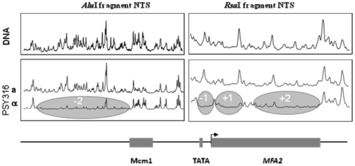 Chromatin from a or a mating type cells was incubated with Mnase and processed as in [15]. Scans are shown of band intensities on agarose gels; the higher the peaks then the more efficient the cutting by Mnase. The absence or reduction in peaks in α cells as opposed to in a cells relates to the positioning of 4 nucleosomes as indicated; each occupies about 147 bp of the MFA2 sequence shown underneath.