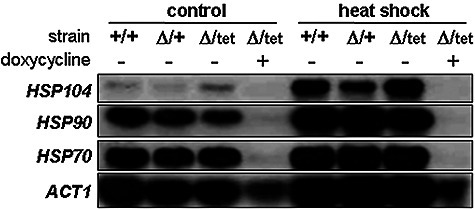 HSF1 is required for basal expression and heat shock induction of HSP genes in C. albicans. C. albicans strains were grown at 30°C in YPD containing or lacking 20 μg ml−1 doxycycline for 6 h. Cells were subjected to a 30–45°C heat shock for 30 min, or maintained at 30°C: wild type, +/+ (THE1); heterozygous hsf1/HSF1 mutant, Δ/+ (CLM60-1); conditional hsf1/tetp-HSF1 mutant, Δ/tet (CLM62-1) (Table 1). RNA was isolated from these cells and subjected to Northern blotting. Filters were probed for the HSP70, HSP90, HSP140 and ACT1 mRNAs. The HSP70 probe cross-reacted with transcripts from several HSP70 family members: HSP70, SSA2, SSB1, KAR2 and SSCI (not shown).