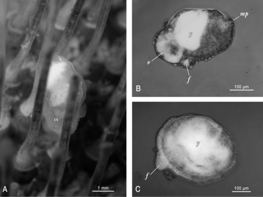 Photographs of live Waldo arthuri material sampled in Barkeley Sound in 1989. A Brooding adult attached to its host. Note the papillated mantle (m) that is partially retracted and the presence of ~ 200 µm diameter white yolky early embryos (e) in its ctenidia, visible through the transparent shell B Micrograph of mid-late development embryo (equivalent to the pediveliger stage in pelagic developing bivalves) that was dissected from its brooding parent's ctenidia. Labels indicate protruding foot (f), modified non-ciliated velum (v) with partially consumed yolk reserves (white areas) and mantle papillae (mp) in addition to a dense mass of yolk (y) sequestered in the anterior shelled half of the embryo C Micrograph of smallest/youngest (20 µm of dissoconch growth) specimen observed attached to an urchin host. Note the protruding foot (f) and the apparent presence of persistent yolk reserves (y) dispersed throughout much of the juvenile's visceral mass.