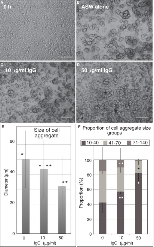 Embryonic cell reaggregation assay in the presence of IgG of anti-Epith-2 monoclonal antibody in H. pulcherrimus. (A) Whole embryonic cells of swimming blastulae immediately after dissociation (0 h). (B–D) Re-aggregated embryonic cells at 5 h after dissociation. (B) In plain artificial seawater (ASW alone). (C) With 10 μg/ml IgG (10 μg/ml IgG). (D) With 50 μg/ml IgG (50 μg/ml IgG). Scale bars, 100 μm. (E) Average size of cell aggregates with no IgG (0), 10 μg/ml (10) and 50 μg/ml (50) IgG. Bars, SD (n = 80). *P = 0.0344, **P = 0.0001. Unpaired t test. (F) Proportion of three cell aggregate sizes in 0 μg/ml (0), 10 μg/ml (10), and 50 μg/ml (50) anti-Epith-2 mAb IgG. Bars, SD (n = 80). *P = 0.0055, **P = 0.0588. Unpaired t test.