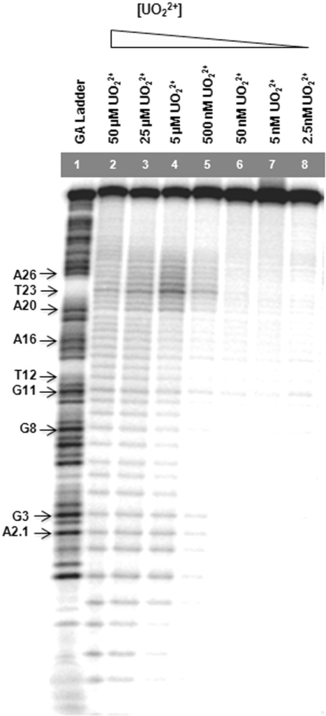 Gel images of uranyl photocleavage reactions of 39E (−1, +5) DNAzyme with the enzyme strand labeled and in the presence of varying concentrations of uranyl.