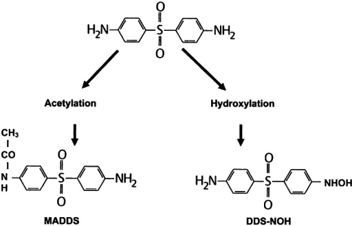 The two major metabolic pathways of dapsone (MADDS monoacetyldapsone, DDS-NOH dapsone hydroxylamine)