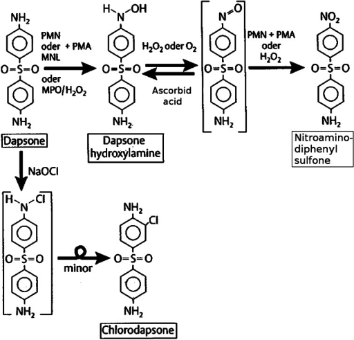 Dapsone metabolism in human PMN and mononuclear cells after activation by phorbol myristate acetate (PMA) and oxidation path by NaOCl (according to Uetrecht et al. [156])