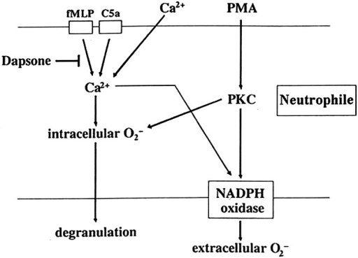 The effect of dapsone on neutrophils. Dapsone suppressed intra- and extracellular production of superoxide (O2−) and elastase release triggered by FLMP and physiological agonist C5a, but not by PMA. Both FMLP and C5a signaled the above pathways by inducing calcium influx, but PMA functions bypassed calcium influx. Dapsone was capable of antagonizing the induction of calcium influx (FMLP: N-formyl-l-methionyl-l-leucyl-l-phenyalanine, PMA phorbol myristate acetate, PKC protein kinase C, NADPH Nicotinamide adenosine dinucleotide phosphate) (according to Suda et al. [148]