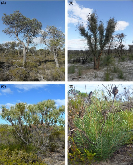 The distinctive morphologies of the two postfire resprouting types of Banksia attenuata. (A) Tree form (8.6 m in the figure); (B) epicormic resprouting (1 year after fire); (C) shrub form (1.8 m in the figure); (D) lignotuberous resprouting (1 year after fire).