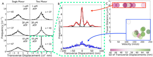 "Single- and Two-kinesin motor transverse displacement measurements.(a) Histograms of the transverse displacement of cargos transported by one (left) or two (right) kinesins at the indicated ATP concentrations. DTDs occur at 10 and 20 µM ATP for two-kinesin transport. (b) Top: Histogram of transverse cargo displacement at 10 µM ATP for two motor traces with travel distance >5 µm. Using a binning histogram density of 30 bins per 40 nm, the leftmost sidestep peak is located at -53.3 nm and the remaining sidestep peak on the left side is located at -29.8 nm. The rightmost sidestep peak is located at 53.3 nm and the remaining right single sidestep is located at 26.6 nm. We find that ""left"" and ""right"" DTDs occur with roughly equal probability (49% vs 51%). Bottom: Same as (Top) except depicting traces with travel distances <5 µm. The sum of these two histograms is equal to the histogram of DTDs of two-kinesin transport at 10 µM ATP. A sum of five gaussians approximates the two-motor (>5 µm travel) transverse motion histogram well (Top), while the histogram of DTDs for the shorter traces (Bottom) was well approximated by a single gaussian. (c) Two-motor traces at 10 µM ATP separate into two groups. One group (boxed in red) has a low standard deviation in its transverse displacement size of 46 nm on average, has a high processivity (>5 µm), and a low velocity of 109 nm/s on average. Another group (boxed in blue) has traces with a travel distance of >5 µm, a high standard deviation in its transverse displacement size of 62 nm on average, and a higher velocity of 187 nm/s on average."