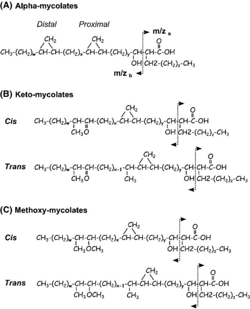 Structure and mass spectrometry fragmentation of the mycolic acid species present in Mycobacterium tuberculosis complex (MTBC). (A) Alpha-mycolates harbor both distal and proximal cyclopropane modifications on their meromycolic chain. (B) Keto-mycolates have a cyclopropane group in the proximal position and a ketone in the distal position of the meromycolic chain. (C) Methoxy-mycolates harbor a cyclopropane group in the proximal and a methoxy group in the distal positions of the meromycolic chain. Cis/trans stereoisomers of keto- and methoxy-mycolic acids (MAs) are distinguished according to the presence (trans) or not (cis) of a methyl group in alpha of the proximal cyclopropane function. MA species vary in length (72 < x + y + z < 89). The arrows indicate the major fragmentation pattern used for mass spectrometry identification of individual species by multiple reaction monitoring (Shui et al. 2012).
