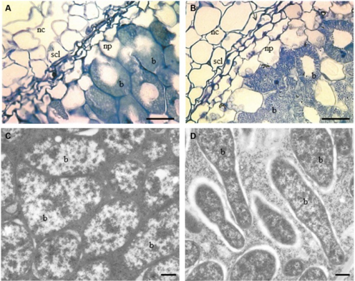 Light and TEM micrographs of nodules of sections of two contrasting PPO phenotypes, WT RC11 and RNAi RC4 plants. (A) and (B), Light micrographs showing nodule cortex (nc), nodule parenchyma (np), SCL and bacteroids (b). (A) WT RC11 nodules had 3–4 celled SCL and rounded bacteroids. Average width cells of SCL = 37.53 ± 0.860 μm, average area cells nc = 493.7 ± 25.62 μm2. B, RNAi RC4 nodules showing wider 5–6 celled SCL, which are less squashed and, more granular bacteroids (b). Average width cells of SCL = 60.05 ± 1.079 μm, average area cells nc = 1164.8 ± 117.32 μm2. (C,D) TEM micrographs showing bacteroids within nodules (b). (C) WT RC11 rounded tightly packed bacteroids. (D) RNAi RC4 elongated granular bacteroids (b). Bars (A,B) = 25 μm, (C,D) = 500 nm.
