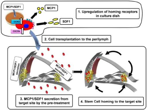 Schematic diagram of the strategy to activate stem cell homing in the mouse cochlea. 1. Upregulation of homing receptors (CCR2, CXCR4) in culture dish by the treatment of MCP-1 or SDF-1. The cells with abundant CCR2 and CXCR4 acquire the higher potentials to be attracted by MCP-1 and SDF-1 (black arrows). 2. The pretreated cells are injected into the perilymph via the semicircular canal. 3. MCP-1/SDF-1 secretion from the target site by pre-treatment with 3-nitropropionic acid (3-NP). 4. Transplanted cells home to the target site.