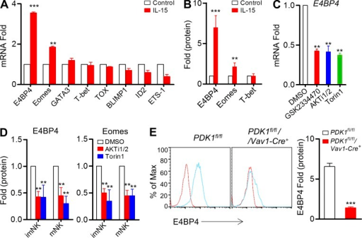PDK1-mTOR signaling regulates IL-15–induced E4BP4 expression in vitro. (A) Quantitative RT-PCR analysis of NK cell–related genes in sorted wild-type CD3−NK1.1+ cells before and after stimulation with IL-15–IL-15R complexes; the results were normalized to those of β-actin and are presented relative to those of untreated cells, set as 1. Data were pooled from three independent experiments. **, P < 0.005; ***, P < 0.0005 versus control. (B) Intracellular staining was used to analyze the expression of E4BP4, Eomes, and T-bet on gated CD3−NK1.1+ cells by flow cytometry before and after stimulation with IL-15–IL-15R complexes; the results were normalized and are presented relative to MFI of untreated cells, set as 1. Data were pooled from four independent experiments. **, P < 0.005; ***, P < 0.0005 versus control. (C) Quantitative RT-PCR analysis of E4bp4 in sorted wild-type CD3−NK1.1+ cells after stimulation with IL-15–IL-15R complexes in the presence of the indicated inhibitors or of DMSO (control); the results were normalized to those of β-actin and are presented relative to those of DMSO-treated cells, set as 1. Data represent the mean ± SEM (3 repeats). **, P < 0.005 versus DMSO. (D) Intracellular staining was used to analyze the expression of E4BP4 and Eomes on gated CD3−NK1.1+ cells by flow cytometry after stimulation with IL-15–IL-15R complexes plus indicated inhibitors; the results were normalized and are presented relative to those of DMSO-treated cells, set as 1. Data represent the mean ± SEM (3 repeats). **, P < 0.005 versus DMSO. (E) Intracellular staining was used to analyze the expression of E4BP4 in CD3−CD122high NK1.1+ NK cells by flow cytometry from indicated mice before and after stimulated with IL-15–IL-15R complexes. Representative overlaid histogram is shown (left). Red lines, unstimulated; Blue lines, stimulated. Results are presented relative to MFI values before treatment. Data were pooled from two independent experiments (right, n = 4). ***, P < 0.0005.