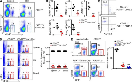 Severely reduced NK cellularity and loss of NK cell activity in PDK1-deficient mice. (A) CD3−NKp46+ NK cells were isolated from spleen and bone marrow, and percentages are indicated in representative flow cytometric plots. (B) Absolute numbers of CD3−NKp46+ NK cells are also indicated in tissues and organs from PDK1fl/fl and PDK1fl/fl/Vav1-Cre+ mice. Each symbol represents an individual mouse; small horizontal lines indicate the mean. Data were pooled from two individual experiments (n = 4 or more). **, P < 0.005; ***, P < 0.0005. (C) Mice were treated with 5-FU before bone marrow was isolated and depleted of B220+ and CD3+ and NK1.1+ cells. Depleted bone marrow from CD45.1 WT mice was mixed with either WT or PDK1−/− bone marrow cells expressing CD45.2 at a 1:1 ratio. Cells were then injected into sublethally irradiated RAG1−/−γc− recipient mice. CD45.1 versus CD45.2 expression on gated CD3−CD122+NKp46+ was detected by flow cytometry. The numbers show the percentages in relevant quadrant. (D, left) Representative flow cytometry of CFSE+ cells obtained from spleen, LN, or blood of the indicated recipient mice 18 h after injection with an equal number of WT or β2-microglobulin (β2M)–deficient splenocytes labeled with various concentrations of the cytosolic dye CFSE. R1, CFSElow splenocytes from WT mice; R2, CFSEhigh splenocytes from β2M-deficient mice. (D, right) Quantification of the percent rejection of β2M-deficient splenocytes. Each symbol represents an individual mouse; small horizontal lines indicate the mean (n = 6 mice per group). (E) Representative flow cytometry plot (left) and quantification of the percentages (right, percent rejection) of RMA-S cells in the peritoneal cavity on 18 h after intraperitoneal injection in the indicated mice. A mixture of NK cell–sensitive RMA-S cells expressing green fluorescent protein (GFP; outlined in red) together with NK cell-resistant RMA cells expressing the fluorescent protein DsRed (outlined in black) were injected. The numbers near square boxes represent percentages of RMA-S or RMA relative to the total number of injected cells. Immunocompromised RAG1−/−γc− mice were used as a control. Injected cells are shown. Each symbol represents an individual mouse; small horizontal lines indicate the mean (n = 4 mice per group). Data are representative of two independent experiments. ***, P < 0.0005.
