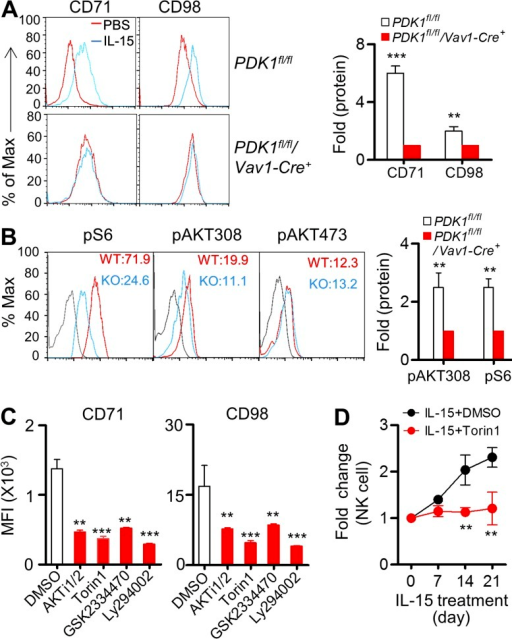 IL-15 augments NK cell metabolic activation and proliferation via PI3K–PDK1–mTOR signaling. Splenocytes from PDK1fl/fl or PDK1fl/fl/Vav1-Cre+ mice were stimulated with recombinant IL-15–IL-15R complexes overnight. (A) Expression of CD71 and CD98 was detected by flow cytometry (left) and was quantified as mean fluorescence intensity. The results are presented relative to unstimulated cells, set as 1 (right). Data represent the mean ± SEM of 5 mice per group. **, P < 0.005. (B). Intracellular phosphorylated S6, AKT T308, and AKT S473 were detected by flow cytometry (left), and the MFI was calculated. The protein expression levels in PDK1 fl/fl NK cells are presented relative to PDK1fl/fl/Vav1-Cre+ mice, set as 1 (right). Data represent the mean ± SEM of 3 mice per group. Data are representative of two independent experiments. **, P < 0.005. (C) WT bone marrow cells were stimulated with recombinant IL-15–IL-15R complexes overnight in the presence of the indicated pharmacological inhibitors or DMSO, as a negative control. Flow cytometry was used to detect CD71 and CD98, and quantification is presented as the MFI. Data represent the mean ± SEM of 3 independent experiments. **, P < 0.005, ***, P < 0.0005. (D) WT mice were injected with IL-15–IL-15R complexes every 3 d together with the mTOR inhibitor Torin1 or DMSO. The absolute number of peripheral blood CD3−NKp46+NK cells was quantified on the indicated days. Fold change was calculated as describe in Fig. 3 D. Data represent the mean ± SEM of 3 mice per time point and are representative of two independent experiments. *, P < 0.05.