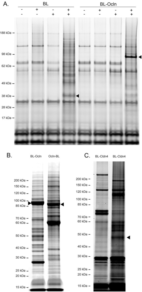 Coomassie-stained SDS-PAGE gels reveal that streptavidin-purified biotinylated proteins from different transgenes show differing protein patterns.A. Shown are proteins purified from cells expressing biotin ligase alone (BL), biotin ligase fused to the N terminus of Ocln (BL-Ocln). B. Proteins purified from the N- and C- terminus of Ocln (BL-Ocln and Ocln-BL) with added biotin. C. Shown are proteins purified from cells expressing biotin ligase fused to the N terminus of Cldn4 (BL-Cldn4), with or without added biotin. The positions of the transgenes are marked with arrowheads. Triplicate samples gave very similar protein patterns.