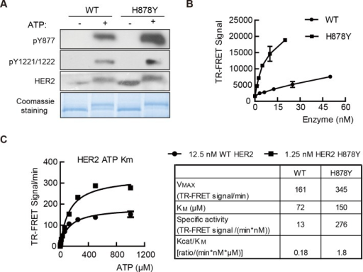 H878Y is a gain-of-function mutation.(A) H878Y mutant HER2 is more efficiently autophosphorylated. Purified HER2 fragments were autophosphorylated when incubated with ATP for 60 minutes and blotted with antibodies against HER2 pY877 and pY1221/pY1222 (upper panels). Proteins were incubated with ATP for 60 minutes and then separated with SDS-PAGE to visualize phosphorylated (upper band) and unphosphorylated proteins (lower band) (bottom panel). (B) Enzyme titration of wild type (WT) and H878Y isoforms. Enzymatic activity was assayed at 1mM ATP at room temperature for 1 hour. (C) Kinase activity assay using time-resolved fluorescence-resonance energy transfer (TR-FRET) methodology (left panel). WT and H878Y HER2 isoforms were assayed at various concentrations of ATP to determine the constants indicated in right panel.