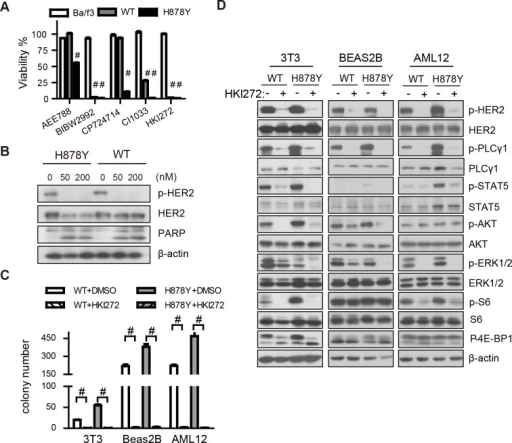HKI-272 inhibits H878Y HER2 mutant elicited signaling.(A) WT and H878Y transformed Ba/f3 and parental cells were treated with 50nM of various HER2 inhibitors for 3 days to determine the viability. (B) WT and H878Y transformed Ba/f3 cells were treated with 50 or 200nM HKI-272 for 24 hours to determine HER2 phosphorylation and cleaved PARP. Western blot were carried out with antibody indicated. (C) HKI-272 efficiently eliminated soft-agar colonies of WT and H878Y transfected NIH-3T3, Beas-2B, and AML12 cells in the presence of 500nM HKI-272. (D) H878Y elicited signals are sensitive to HKI-272 inhibition. Control vector, WT and H878Y constructs transfected NIH-3T3, Beas-2B, and AML12 cells were treated with 500 nM HKI-272 for 1 hour and then subjected to Western blot analysis with antibodies indicated. # p<0.001.