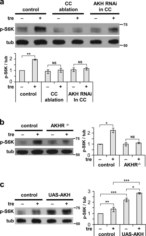 Activation of TOR by trehalose requires AKH signaling(a, b) Trehalose-mediated ex vivo activation of fb-TOR is disrupted by ablation of the CC (AKH-GAL4 / UAS-reaper) or depletion of AKH from the CC (AKH-GAL4 / UAS-AKHRNAi) and by  mutation of the AKH receptor (AKHR1/AKHR1). (c) Overexpression of AKH (Cg-GAL4 / UAS-Akh) increases fb-TOR signaling in the presence and absence of trehalose ex vivo. Data represent mean±s.e.m. of three (a, b) or four (c) independent experiments. *p<0.05, **p<0.01, ***p<0.001, NS p>0.05; Student's t-test. Full-size immunoblots are presented in Supplementary Figure 5.