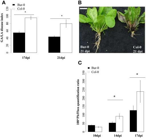 (A,B) Clubroot symptoms and (C), quantification of Plasmodiophora brassicae DNA in infected roots of the partially resistant accession Bur-0 and the susceptible accession Col-0. (A) Clubroot symptoms were evaluated using the GA/LA disease index calculated by image analysis at 17 and 21 dpi. GA/LA was calculated from gall area (GA in cm2) divided by an estimation of the rosette extent (LA in cm2). Error bars represent standard error (Four biological replicate, 18 plants analyzed per biological replicate). Asterisks indicate statistically significant differences according to the (P < 0.05) (B) Illustration of clubroot symptoms. The scale bar indicates 1 cm. (C) Pathogen DNA quantification (Pb) by qPCR, expressed as a ratio relative to the expression level of the plant Fbox gene at 10, 14, and 17 dpi (Three biological replicates, 12–54 plants per biological replicate). Asterisks indicate statistically significant differences according to the Wald tests applied on a linear mixed model (P < 0.05).