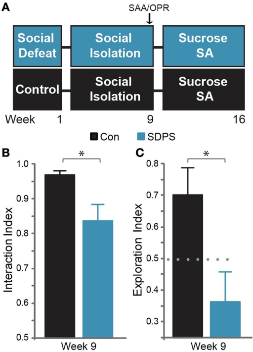 SDPS induces deficits in the cognitive and the affective domain. (A) SDPS animals were exposed to 5 daily defeat sessions, immediately followed by social isolation (single-housing). Eight weeks following the last defeat episode, Social Approach Avoidance (SAA), and Object Place Recognition tests were employed to assess the effects of SDSP on the affective and cognitive domain. Animals were then subjected to a 7-weeks long operant sucrose self-administration paradigm. (B) Whereas both control and SDPS rats spent the majority of time interacting with the unfamiliar social target at the SAA test, SDPS triggered avoidance behavior, indicated by the significantly reduced interaction index as compared to controls. (C) SPDS rats failed to retain the position of the displaced object in the short-term spatial memory OPR test, in contrast to controls, which spent the majority of time exploring the object in its new location. *P < 0.050 for Student's t-test (gray); dotted gray line indicates the 50% preference index.