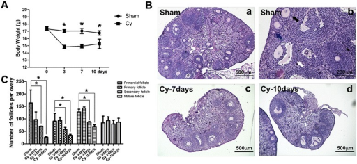 Chemotherapy reduced body weight of mice and the number of ovarian follicles. A Bar graph illustrating the body weight of mice in the sham and chemoablated (Cy) groups. B H&E staining of ovaries in sham and treatment groups, 7 and 10 days post-induction. Blue arrow indicated primordial follicle; red arrow indicated primary follicle; black arrow indicated secondary follicle; white arrow indicated mature follicle in B-b. C Bar graph representing the number of follicles at different stages of development. Data represent means ± SEM; *p < 0.05 versus Sham. Scale bar = 500 μm (a, c and d), 200 μm in b. Sham sham group (n = 6), Cy-3days chemoablated 3-day group (n = 6), Cy-7days chemoablated 7-day group (n = 6), Cy-10days chemoablated 10-day group (n = 6)
