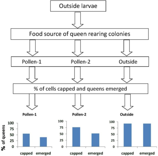 "The percentages of queen cells that were capped and queens that emerged when larvae from open foraging (""outside"") colonies were reared as queens in outside colonies or in hives in an enclosed flight area that were fed pollen with chlorpyrifos alone (pollen-1) or with added Pristine® fungicide (pollen-2). Percentages of capped queen cells and emerged queens in outside colonies were significantly higher than when the larvae were reared as queens in colonies fed pollen-1 (55% survival to capped stage; X2 = 12.3, p < 0.0001 and 40% emergence; X2 = 21.0, p ≤ 0.0001 ) or pollen-2 (76% survival to capped stage X2 = 4.03, p = 0.046; and 51.8% emergence X2 = 13.1, p < 0.0001). The percentage of larvae from outside colonies that survived to the capped brood stage in colonies fed pollen-2 was greater than in pollen-1 (76% and 55% respectively; X2 = 4.55, p = 0.03). The percentages that emerged as queens however, did not differ (pollen-1 = 40%, pollen-2 = 51.8%; X2 = 1.29, p = 0.255)."