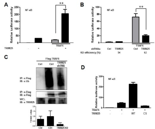 TRIM25 is involved in TRAF6-mediated NF-κB signaling. (A) Enhanced TRAF6-induced NF-κB activation by ectopic expression of TRIM25. HEK293T cells were transfected with plasmids as indicated. Cells were cotransfected with NF-κB luciferase reporter and TK-Renilla reporter plasmids. Promoter activities were determined by Dual-Luciferase assay 16 h after transfection. (B) Suppression of TRAF6-induced NF-κB activation by depletion of TRIM25. HEK293T cells were transfected with control shRNA (Ctrl) or shRNAs targeting TRIM25 as indicated together with reporter plasmids. Promoter activities were determined using procedures similar to those in (A). Knock-down efficiency was confirmed by measuring TRIM25 mRNA using RT-qPCR. (C) Role of TRIM25 in TRAF6 ubiquitination. HEK293T cells were transfected with flag-TRAF6 together with control shRNA (Ctrl) or shRNAs targeting TRIM25. Cell lysates were subjected to immunoprecipitation using an anti-flag antibody and analyzed by immunoblotting using the indicated antibodies to examine the level of TRAF6 ubiquitination. Suppression of TRIM25 mRNA synthesis was confirmed by RT-qPCR. (D) E3-ligase activity of TRIM25 is required for TRAF6-induced NF-κB activation. HEK293T cells were transfected with wild-type (WT) and E3-ligase activity dead C50S/C53S mutant (CS) TRIM25 together with vector or TRAF6 plasmid. NF-κB luciferase reporter and TK-Renilla reporter plasmids were co-transfected. Promoter activities were determined by Dual-Luciferase assay 16 h after transfection.