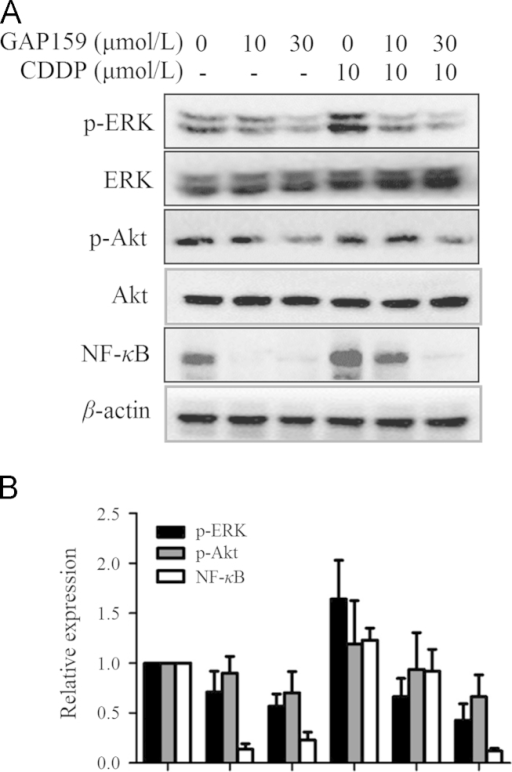 Effects of GAP159 on Akt, ERK and NF-κB. A: Cells were treated with GAP159 in the absence or presence of CDDP for 48 h; B: quantification of protein levels. The protein levels were detected by Western blot.