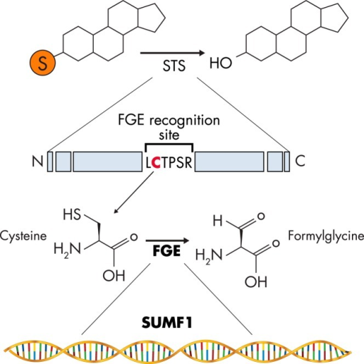 SUMF1 and FGE. SUMF1 encodes for the enzyme FGE, which catalyzes the conversion of cysteine to FGly found at the FGE-recognition site LCTPSR on STS. This reaction results in increased steroid desulfation by elevated STS activity.