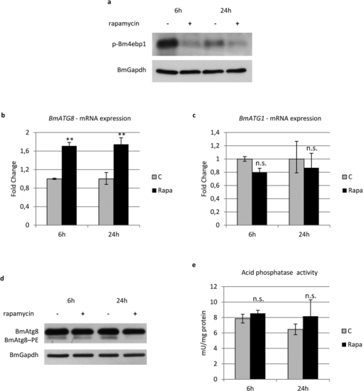 Rapamycin fails to activate a full autophagic response.(a) Western blot analysis of p-Bm4ebp1 in midgut of larvae injected with rapamycin; (b,c) qRT-PCR analysis of BmATG8 (b) and BmATG1 (c) expression after rapamycin treatment; (d,e) Western blot analysis of BmAtg8–PE (d) and acid phosphatase activity (e) after administration of rapamycin. Values represent mean ± s.e.m. (**p < 0.01 using Student's t-test).