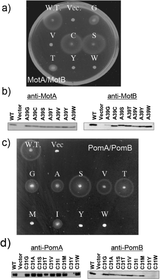 Motility of MotB and PomB mutants on soft-agar plates (a)(c), and western blotting analysis of the proteins (b) (d). (a) Swarms of RP6894 (ΔmotAB) cells harboring a plasmid that express WT MotA/B, MotA/B(A39G) (G), MotA/B(A39V) (V), MotA/B(A39C) (C), MotA/B(A39S) (S), MotA/B(A39T) (T), MotA/B(A39Y) (Y) or MotA/B(A39W) (W). Transformants were cultured in liquid medium overnight, and aliquots were spotted onto a plate containing TG and 0.26% agar. Plates were incubated in the presence of 0.04% arabinose at 30°C for 10 hr. Vec. means a pBAD24 plasmid vector. (b) Western blotting analysis of MotA (left panel) and MotB (right panel) in whole cell extracts. Proteins were detected with an anti-MotA266 antibody and an anti-MotB2 antibody. (c) Swarms of NMB191 (ΔpomAB) cells harboring a plasmid that express WT PomA/B, PomA/B(C31G) (G), PomA/B(C31A) (A), PomA/B(C31S) (S), PomA/B(C31V) (V), PomA/B(C31T) (T), PomA/B(C31M) (M), PomA/B(C31I) (I), PomA/B(C31Y) (Y) or PomA/B(C31W) (W). Transformants were cultured in liquid medium overnight, and aliquots were spotted onto a plate containing VPG500 and 0.26% agar. Plates were incubated at 30°C for 6 hr. Vec. means a pSU41 plasmid vector. (b) Western blotting analysis of PomA (left panel) and PomB (right panel) in whole cell extracts. Proteins were detected with an anti-PomA1312 antibody and an anti-PomB93 antibody.