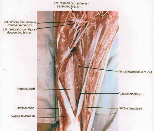Medial Circumflex Femoral Artery lateral femoral circum...