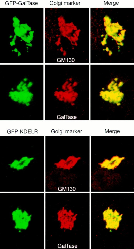 Double labeling of GFP chimeras with Golgi markers  using immunofluorescence microscopy. GFP-GalTase or GFP-KDELR expressing HeLa cells were fixed, permeabilized, and labeled with antibodies to the indicated Golgi proteins followed by  secondary antibodies coupled to rhodamine. GFP fluorescence is  shown on the left, rhodamine labeling in the middle, and the  merged images in the right panels. Yellow indicates regions of  overlap. Bar, 3 μm.