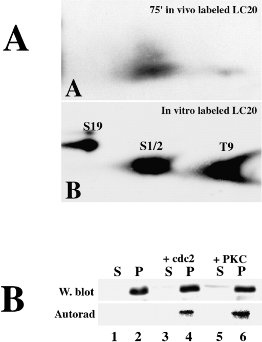 Compartmentalization of serine 1,2 phosphorylation. (A) L. pictus eggs were incubated in the presence of inorganic 32PO4 in phosphate-free artificial sea water. Zygotes were cultured up to metaphase of the first cell division, washed, and lysed in a buffer containing 0.5% NP-40 and protease and phosphatase inhibitors. Cortical cytoskeletons were removed by centrifugation, and myosin II was isolated from the supernatant by immunoprecipitation. Light chains were subjected to proteolysis and two dimensional phosphopeptide analysis. (A, panel A) LC20 immunoprecipitated from metaphase zygotes (77 min after fertilization). (A, panel B) LC20 phosphorylated in vitro with both PKC and MLCK to identify both activating and inhibitory phosphorylation sites. (B) Cortices were prepared from interphase zygotes (30 min after fertilization) and incubated with [γ-32P]ATP in the absence (lanes 1 and 2) or presence of purified p34cdc2 (lanes 3 and 4) or PKC (lanes 5 and 6) for 30 min. The suspension was then clarified by centrifugation, and the supernatant (lanes 1, 3, and 5) and pellet (cytoskeletal) fractions (lanes 2, 4, and 6) were analyzed by Western blotting and autoradiography.