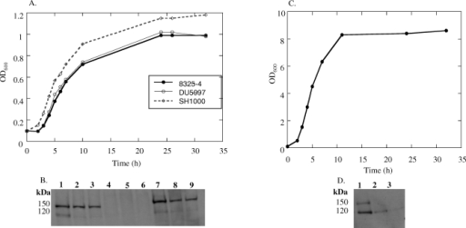 ClfB Expression Experiments(A) Bacterial growth and ClfB expression in RPMI. Strains 8325–4, DU5997, and SH1000 were grown in RPMI, and samples were taken at regular intervals to monitor growth.(B) Samples taken at early exponential, early stationary, and late stationary phases of growth were analyzed by Western immunoblotting. Lanes 1, 2, and 3 show ClfB expression from strain 8325–4 at early exponential, early stationary, and late stationary growth phases, respectively. Lanes 4, 5, and 6 show ClfB expression from strain DU5997 at early exponential, early stationary, and late stationary growth phases, respectively. Lanes 7, 8, and 9 show ClfB expression from SH1000 at early exponential, early stationary, and late stationary growth phases, respectively.(C) Bacterial growth and ClfB expression in TSB. Strain 8325–4 was grown in TSB, and samples were taken at regular intervals to monitor growth.(D) Western immunoblotting was carried out to detect ClfB expression at early exponential, early stationary, and late stationary phases of growth. Lanes 1, 2, and 3 show ClfB expression from strain 8325–4 grown in TSB at early exponential, early stationary, and late stationary growth phases, respectively.
