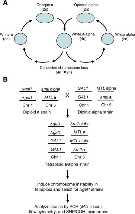 Analysis of the Parasexual Mating Cycle in C. albicans(A) Overview of the mating cycle in C. albicans. White MTLa and MTLα cells must switch to the opaque state to undergo mating and formation of a mononuclear tetraploid a/α cell. A reduction in ploidy back to the diploid (or near diploid) can occur by random chromosome loss.(B) A scheme for selection of diploid progeny strains from tetraploids. A tetraploid strain, RBY18, heterozygous for the GAL1 gene on Chromosome (Chr) 1 and for all four MTL alleles on Chr 5 was constructed by mating MTLa and MTLα diploid strains, as shown. After induction of chromosome instability, strains that had undergone a reduction in ploidy were selected for by growth on 2-deoxygalactose (2-DOG) medium, as only strains that have lost the GAL1 gene are able to grow on medium containing 2-DOG. Progeny strains were subsequently analyzed by PCR of the MTL locus and by flow cytometric analysis to confirm they were diploid strains. Strains were then analyzed by SNP and CGH microarrays to determine their genetic content.
