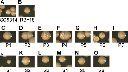Morphology of Progeny Strains from the Parasexual Mating CycleProgeny strains derived from the tetraploid RBY18 strain by growth on pre-spo medium (P1 to P7) or sorbose medium (S1 to S6) were analyzed on YPD medium. Strains were grown at 30 °C for 7 d and photographed. Many strains exhibited a mutant morphology, including increased surface wrinkling of the colonies indicative of increased hyphal cell formation. A control diploid strain (SC5314) and tetraploid strain (RBY18) are included for comparison.
