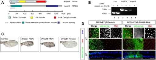 Gal4/UAS mediated RNA interference in Drosophila.(A) Schematic representation of Drosophila phosphatidylinosytol 3 kinase class III (PI3K(III)) composed of dVps34 (a catalytic subunit, CG5373) and dVps15 (an adaptor subunit, CG9746). PI3K C2 domain, PI kinase conserved domain (PIK domain), PI3K catalytic domain, serine threonine protein kinase domain, WD 40 domain and N-terminal myristoylation are indicated. Underlining indicates regions used to construct dsRNA inducible vectors. (B) dVps34 and dVps15 mRNA abundance were reduced by transfection of the respective dsRNA (+) in S2 cells. RNAs was quantified by RT-PCR. γ-tubulin was used as a control. (C) Adult wings in which dsRNAs for either dVps34 (dVps34 RNAi) or dVps15 (dVps15 RNAi) were expressed by the sd-Gal4 driver. The severe malformation was completely rescued by co-expression of wild-type cDNA with dsRNA for dVps34 (dVps34 Rescue), compared with the wild-type wing (Control). (D) Confocal immunodetection showing XY and XZ sections in the plane of pupal wings at 32 h APF. Double-headed arrows indicate the regions where only GFP-2xFYVE, or both GFP-2xFYVE and dsRNA for dVps15, were expressed using the dpp-Gal4 driver. GFP-2xFYVE (green) was localized to dot-like structures in the wild type but dispersed in the cytoplasm in the dVps15-knockdown cells. Wing hairs stained by rhodamine phalloidin (red) were pointed and orderly in the wild type but deformed and irregularly pointed in the dVps15-knockdown cells. The scale bars represent 10 µm.