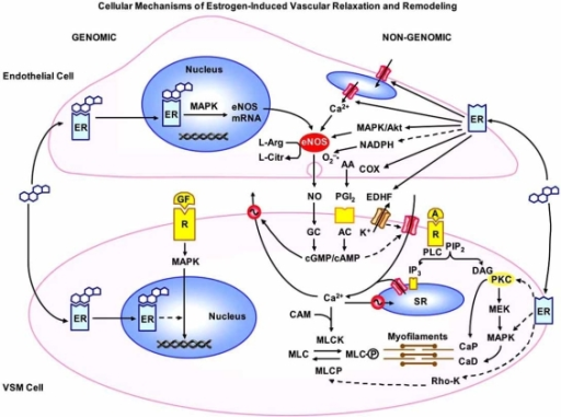 Cellular mechanisms of estrogen-Induced vascular relaxation and remodeling. In endothelial cells, estrogen binds to cytosolic/ nuclear ERs, activates MAPK, and stimulates gene transcription and eNOS expression. Estrogen also binds to surface membrane ERs and stimulates Ca2+ release from the endoplasmic reticulum, the MAPK/Akt pathway, eNOS activity and NO production. NO activates guanylate cyclase (GC) and increases cGMP which causes VSM relaxation by inhibiting Ca2+ influx and stimulating Ca2+ extrusion. Estrogen's antioxidant  effects cause decreases in NADPH and O2–• production and increases in NO bioactivity. Estrogen also activates cyclooxygenases (COX) and enhances the production of PGI2, which in turn activates adenylate cyclase (AC), increases cAMP, and causes VSM relaxation by mechanisms similar to those of cGMP. ER also increases the release of EDHF, activates K+ channels and causes VSM hyperpolarization and inhibition of Ca2+ influx via Ca2+ channels. Estrogen also activates cytosolic/nuclear ERs in VSM and inhibits growth factor (GF)-mediated activation of MAPK, gene transcription and VSM growth. Estrogen also binds to plasma membrane ERs, decrease [Ca2+]i and inhibit Ca2+- dependent MLC phosphorylation and VSM contraction. Estrogen also inhibits PKC-, MAPK- and Rho kinase and thereby leads to decreases in the myofilament force sensitivity to [Ca2+]i. Dashed arrows indicate inhibition. A: agonist, R: receptor, PLC: phospholipase C, PIP2: phospatidyinositol 4,5-bisphosphate, IP3: inositol 1,4,5-trisphosphate, DAG: diacylglycerol, SR: sarcoplasmic reticulum, CAM: calmodulin, MLC: myosin light chain, MLCK: MLC kinase, MLCP: MLC phosphatase, MEK: MAPK kinase, CaP: calponin, CaD: caldesmon.