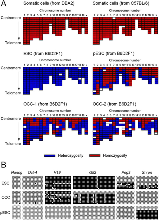 Analyses of the origin of ovarian colony-forming cells (OCCs). (A) Single nucleotide polymorphism (SNP) genotyping of OCCs and control cells. The heterozygosity or homozygosity of SNP loci of OCC-1 and OCC-2 of B6D2F1 strain was compared with that of B6D2F1 embryonic stem cells (ESCs), somatic fibroblasts of DBA2 and C57BL6 mice, and parthenogenetic ESCs (pESCs). Both homozygosity and heterozygosity were concomitantly detected in the OCC line. ESCs of F1 strain showed heterozygosity alone, and only homozygotic SNP loci were detected in the fibroblasts of the inbred strain. The pESC line possessed both homozygotic and heterozygotic chromosomes. (B). Methylation status of OCCs, ESCs, and pESCs. Genomic DNA isolated from these cells was subjected to bisulfite genomic sequencing analysis. The methylation levels of the promoter regions of stemness-related genes (Oct-4 and Nanog) and imprinted genes expressed differentially after parthenogenetic activation (H19, Peg3, Snrpn, and Gtl2) were compared. The PCR products were cloned, and 10 plasmid clones were sequenced for each sample. Open and closed circles indicate unmethylated and methylated CpG dinucleotides, respectively. Stemness-related genes were demethylated in all cell lines, whereas the expression of other genes differed markedly among the cell lines. The methylation in OCCs was significantly different from that in ESCs or pESCs; OCCs had more methylated H19 and Gtl2 compared with pESCs and less methylated Peg3 and Snrpn compared with ESCs. (Reprinted with permission from Gong et al., 2010; 93:2564-601).