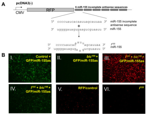 Generation and characterization of the ability of I155, a mammalian expression vector encoding sequences partially antisense to miR-155, to restore GFP expression in a DC line cotransfected with bic155and GFP/miR-155as. A, Schematic diagram to depict I155, a DNA plasmid construct that contains 6 tandemly repeated sequences partially antisense to miR-155 cloned into the 3' UTR of red fluorescent protein. The partially complementary sequences of I155 shown in the diagram bind imperfectly to miR-155 to form a 4-nucleotide mismatched bulged site and may serve as a competitive inhibitor of miR-155. B, Fluorescence microscope image at 24 hrs of DC-1 cells transfected with GFP/miR-155as in combination with a control construct encoding non-specific miRNA (panel I), bic155 (panel II) or both bic155 and I155 (panels III and IV). The empty pcDNA3 vector was used to standardize the total amount of transfected DNA. GFP/miR-155as and bic155 transfection complexes were formulated in Lipofectamine 2000 in a 1:9 mass ratio. The transfection efficiency of I155 was measured by the red fluorescent intensity (panel V) and the degree to which I155 restored GFP expression in bic155- and GFP/miR-155as-cotransfected cells (panel IV). To further characterize the I155 construct, DC-1 cells were transfected with 0.1 μg of either RFP/control (panel V) or I155 (panel VI).